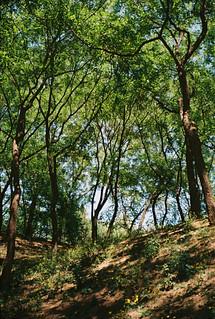 Yuanmingyuan Trees (1)