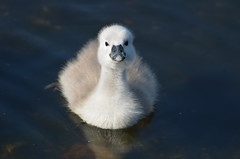 Ugly duckling? (Birder Jez) Tags: muteswan watermead swan uglyduckling cygnet leicestershire