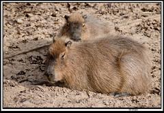 carybara2 (The_Jon_M) Tags: october 2016 oct october2016 blackpool zoo blackpoolzoo lancashire uk england animals capybara rodent
