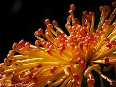 Gardens... should be like lovely, well-shaped girls: all curves, secret corners.... (itucker, thanks for 2.6+ million views!) Tags: mum macro bokeh lava dukegardens chrysanthemum
