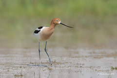 The elegant one (Chantal Jacques Photography) Tags: americanavocet wildandfree theelegantone wild bird saskatchewan bokeh depthoffield