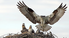 Here comes the fish story about the one that got away (photosauraus rex) Tags: bird outdoor osprey ospreynest juvenileosprey pandionhaliaetus ospreyfamily seahawk vancouver bc canada
