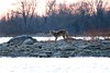 St. Lawrence River Coyote (deanspic) Tags: coyote 100paddles 116100 g3x moulinetteisland stlawrenceriver dusk wild fb
