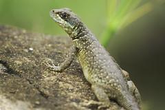 Lizard (mara.arantes) Tags: lizard lagarto nature eco naturaleza natureza macro animals animal flickr brazil brasil