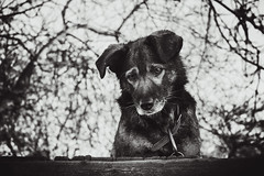 sad stranger (Still.Loony) Tags: dog depressive portrait animal bokeh dof melancholic bw monochrome expressive sadness blackandwhite canoneos400d