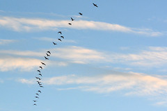 Ascending (NaturalLight) Tags: canadageese goose flock clouds chisholmcreekpark wichita kansas