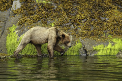 Coastal Grizzly bear walking along the rocky coastline at high tide (Alan Vernon.) Tags: brown bear coastal ursus grizzly arctos horribilis walk walking tidal edge ocean pacific nature wildlife wild mammal american bears omnivore predator shore