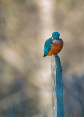 The king waiting 2 (Photography By Robert Young) Tags: bird rspb blue orange fisher king nikon 200400f4