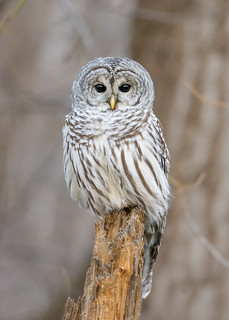 Chouette rayée - Northen barred owl