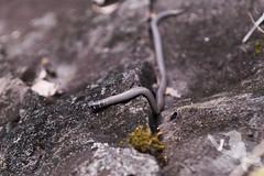 Collared Delma - Delma torquata (Wildsearch) Tags: adorneddelma brisbane collareddelma delmatorquata pygopod qld reptiles threatenedspecies vulnerable