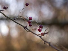 Hawthorn berries with lots of cobweb... (Unni Henning) Tags: hawthorn berries red bush tree nature autumn macro closeup cobweb morninglight bokeh november warwikshire england light sunshine plant branch