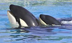 Brothers (ddmaevaoceane) Tags: animaux animals animal marin aquatique parc orque killerwhale orca baleine whale family brothers moana keijo marineland antibes cetacean mammifère cétacé