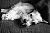 DSC03736P (Scott Glenn) Tags: miniatureschnauzer dog resting sleepy tired f18 sony alpha