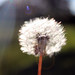 "dandelion • <a style=""font-size:0.8em;"" href=""http://www.flickr.com/photos/124671209@N02/14039667207/"" target=""_blank"">View on Flickr</a>"