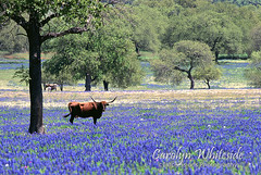 Field of Bluebonnets/ Longhorn