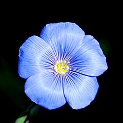 Bleu comme le ciel de Provence ! (Le pot-ager) Tags: fleur plante bleu lin
