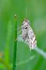 (tobiaszj) Tags: morning light macro up early focus exposure close view natural pentax live tripod moth meadow 11 dew single manual k5 trekker magnification mk3 benbo buttecup