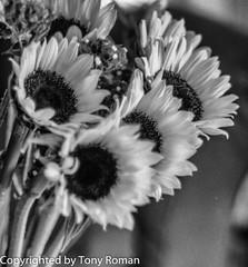 Sunflowers (Tony_Roman_Photography) Tags: camera flowers summer bw film mediumformat season us media fuji maryland things location hasselblad sunflower medium format 100 frederick acros copyrighted tonyroman tonyromanphotography copyrightedbyanthonyproman