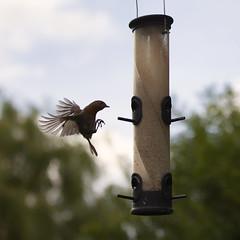 I've gotta fly! (Julian Pett) Tags: red bird robin fly spring wings breast flight feeder landing hover 2014