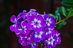 Purple Flame Phlox. (Omygodtom) Tags: park portrait flower macro art nature oregon season nikon dof purple bokeh pdx tamron phlox tamron90mm simpleflowers d7000