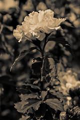 White flower (wolf4max) Tags: flowers plant home nature garden whiteflower blossom gardenplant