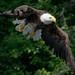 Bald Eagle, Echo Lake