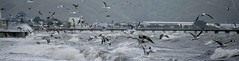 Petone Panorama (feefoxfotos) Tags: sea seagulls bird flying waves feeding wharf petone roughsea feefoxfotos focussingnightmare