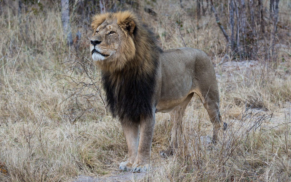 Cecil - Hwange National Park, Zimbabwe by Vince O