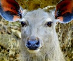 Antelope Ranthambore (madhavbr) Tags: animal tiger reserve antelope ranthambore