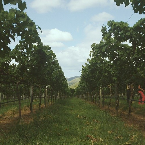 Rows of summer muscat at Hua Hin Hills, home of Monsoon Valley wines. #vscocam #monsoonvalley #wine #Thailand #HuaHin