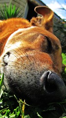 More Sleep (stickersattackface) Tags: old orange dog face up animal fur mammal nose close sleep rest