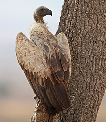 White-backed Vulture (Rainbirder) Tags: kenya maasaimara whitebackedvulture gypsafricanus rainbirder