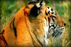 NX1000 Tiger