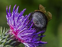 """I like big butts"" (Esther Vinju Photography) Tags: macro nature bug de photography natuur bugs esther lelystad almere insecten nieuwe wildernis vinju esthervinju nieuwewildernis denieuwewildernis"
