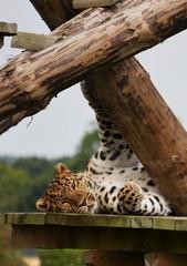Lazy days !! (slingsby2801) Tags: cat leopard bigcats wildanimals yorkshirewildlifepark