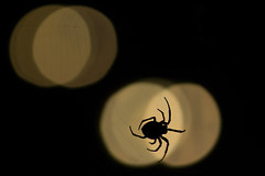 A spider weaves his web (ann.protopopova) Tags: night contrast insect spider web
