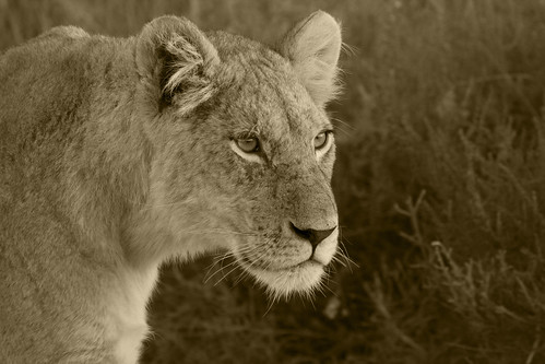 Young Lion  _2579