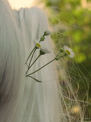 Sun-kissed and Glowing (karmakerosene) Tags: flowers plants flower cute nature daisies canon hair bokeh lolita daisy
