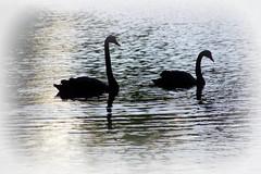 Black silhouettes of black swans (Detmold, Germany) (armxesde) Tags: black reflection silhouette swan pond pentax teich schwan spiegelung nordrheinwestfalen k5 westfalen detmold