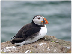 Puffin (eric robb niven) Tags: nature scotland dundee wildlife ngc puffins anstruther firthofforth isleofmay ericrobbniven lumixfz72