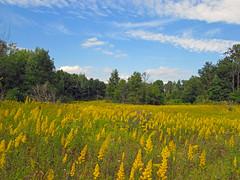 Yellow fields (Larry the Biker) Tags: blue summer yellow weeds michigan bluesky wildflowers cumulousclouds addisonoaks addisontownship addisonoakscountypark
