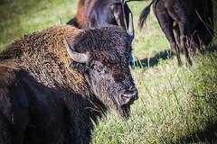 Belwin Conservancy.  Afton, Minnesota. (tmac2272) Tags: minnesota buffalo unitedstates terry prairie bison afton belwinconservancy macvey tmac2272 fujifilmxt1 fujinonxf55200mm3548rlmois httpwwwterrymacveycom