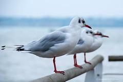 beside the sea (sure2talk) Tags: sea seagulls water gulls hythe shallowdof nikond60 thepinnaclehof 114picturesin201436besidethewater tpbokehshallowdof tphoffebruary2015