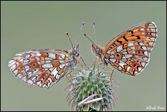 Boloria selene (alfvet) Tags: macro nikon ngc butterflies npc insetti farfalle platinumheartaward veterinarifotografi d5100 macroelitecontestwinner