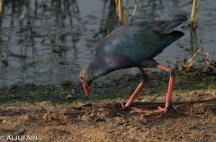 Purple Swamphen (ALJUFAIN KUWAITI) Tags: beach me pool birds kids marina swimming canon rebel photo purple samsung son tags ali nephew galaxy add birdsinflight kuwait saad ok hussain swamphen khairan الكويت jahra بحر الخيران t5i birdsreserve aljufainkuwaiti الجفين aljufain