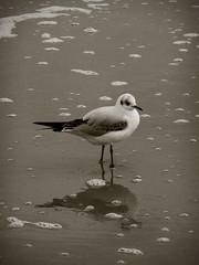 (elli.neuhaus) Tags: animal animals strand tiere sand seagull gull rgen mwe ostsee tier