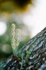 (Terrini) Tags: film pinetree backlight analog naturallight contax 35mmfilm trunk overexposed backlit analogue overexposure yashicafx3 digitalscan consumerfilm zeissplanart85mmf14 fujifilmfujicolor200