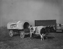 Huber Premium Beer wagon pulled by cattle, October 1963 (Regional History Center & NIU Archives) Tags: dekalbag agriculture photo cattle beer huber brewing wagon illinois black white 1963 bovine