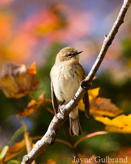Autumn Yellow-rumped warbler (nature55) Tags: yellowrumpedwarbler warbler fallwarbler autumn fall wisconsin mercer migration upnorth