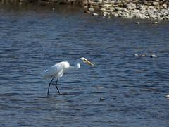 Great egret () (Greg Peterson in Japan) Tags: yasugawa egretsandherons shiga birds japan wildlife moriyama rivers shigaprefecture jpn